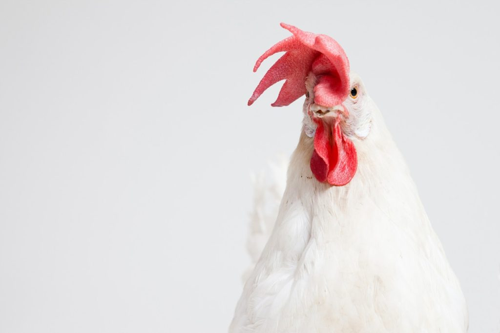 A chicken.