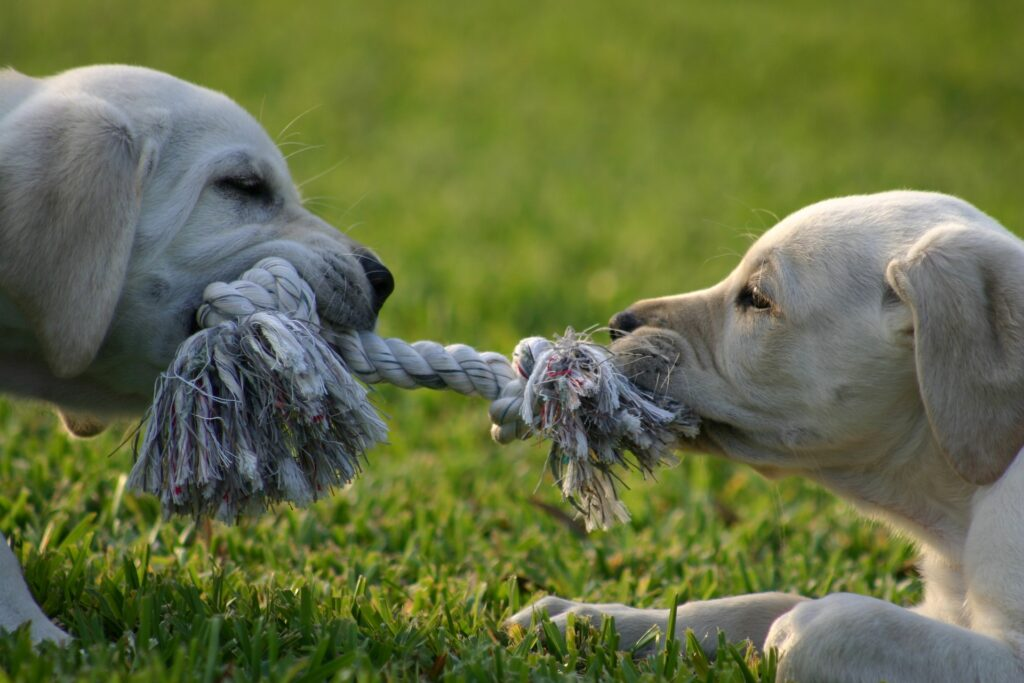 Two puppies pulling on a rope.